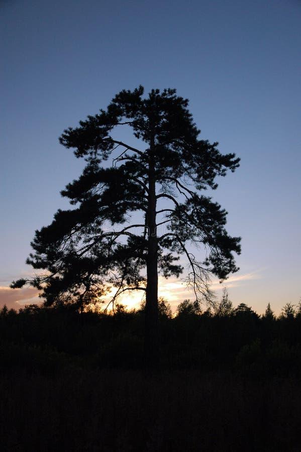 Download Pino-árbol foto de archivo. Imagen de sunset, azul, solamente - 182580