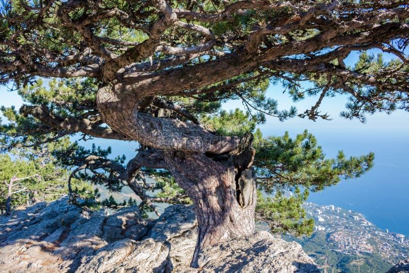 Pino 'aeroplano 'encima de la montaña de Ai-Petri, Crimea fotografía de archivo