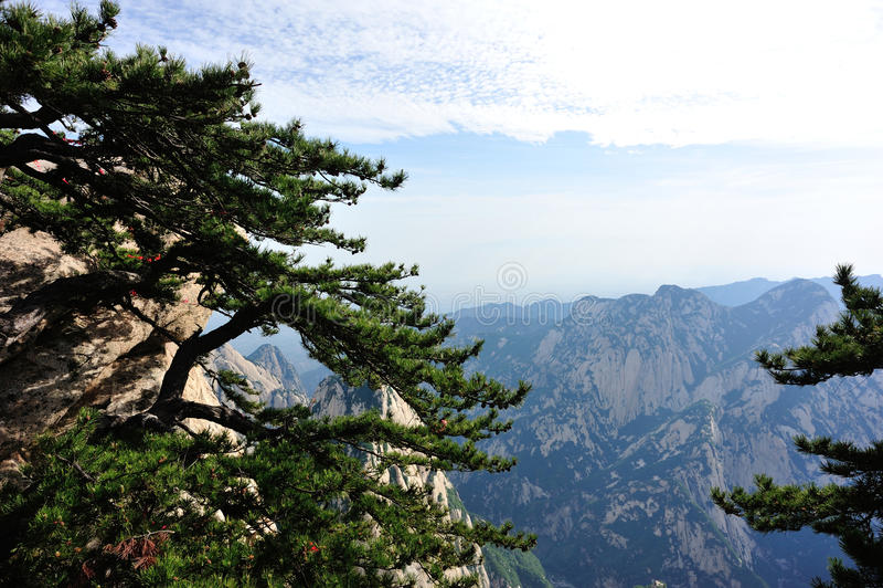 Pino alla montagna huashan immagine stock