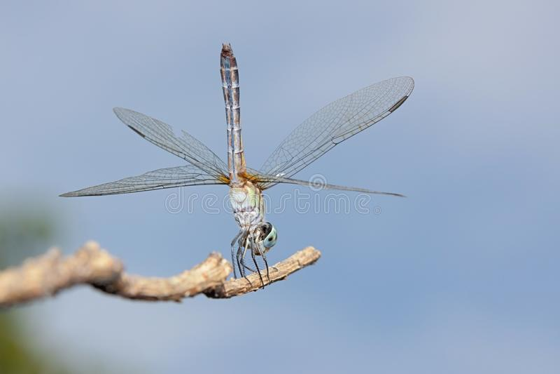 Pino azul da libélula de Dasher fotos de stock royalty free