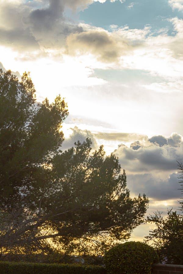 Pino con legno di bosso sistemato e cloudscape e tramonto espansivi fotografie stock