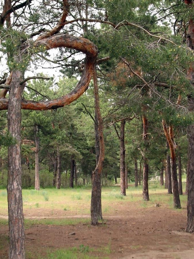 pino de madera P-formado fotografía de archivo