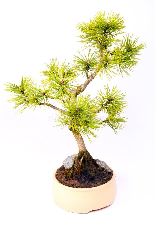 Pino dei bonsai fotografia stock libera da diritti