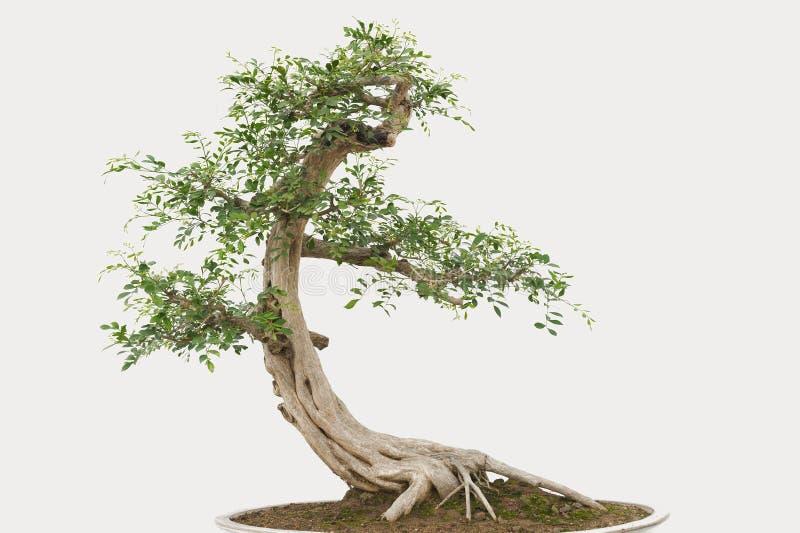 Pino dei bonsai immagine stock