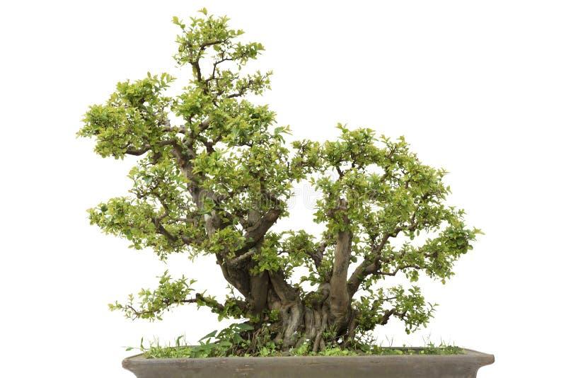 Pino dei bonsai fotografia stock
