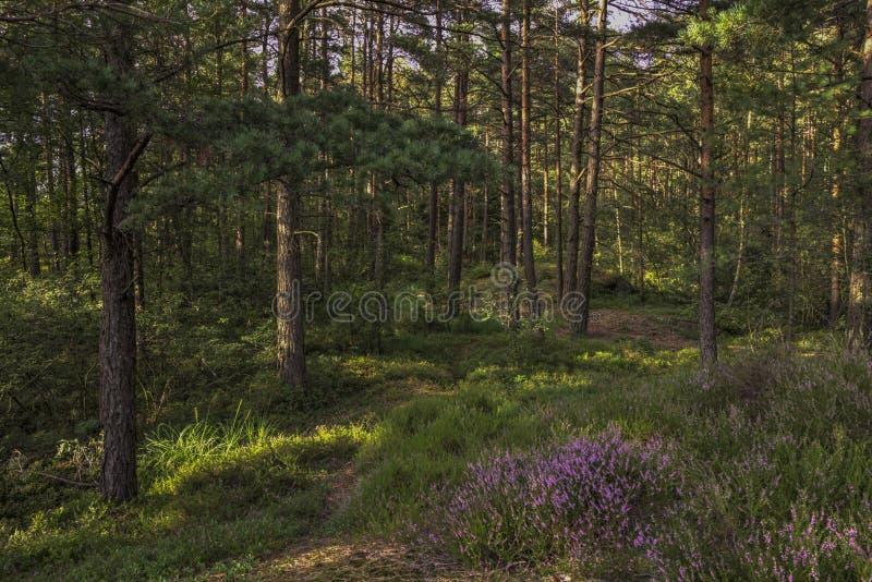 Pino del brezo del bosque fotografía de archivo