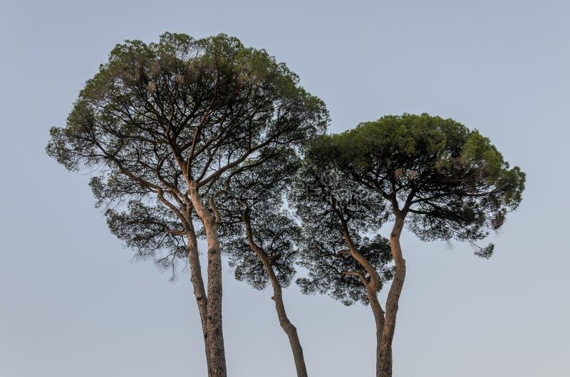 Pino del cedro contro il cielo fotografia stock