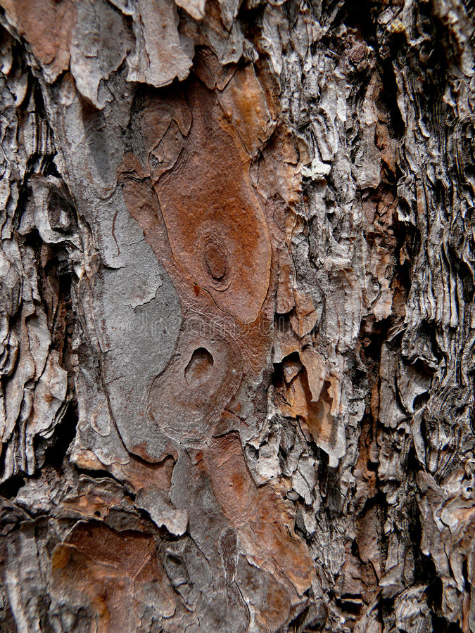 Pino del cedro, struttura della corteccia 3 fotografie stock libere da diritti