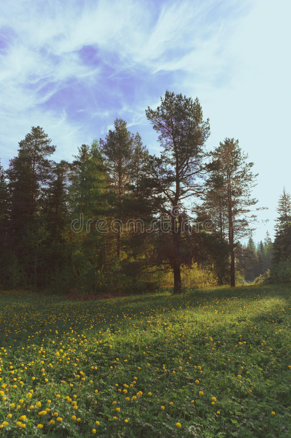 Pino del paisaje del paisaje de la mañana de la estación fotos de archivo libres de regalías