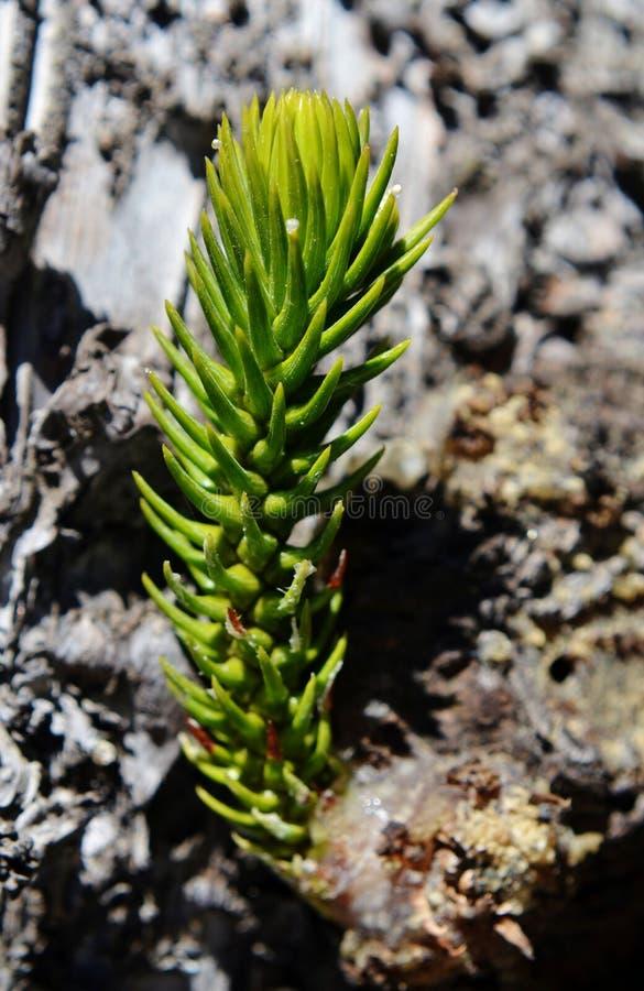 Pino dell'isola Norfolk fotografie stock libere da diritti