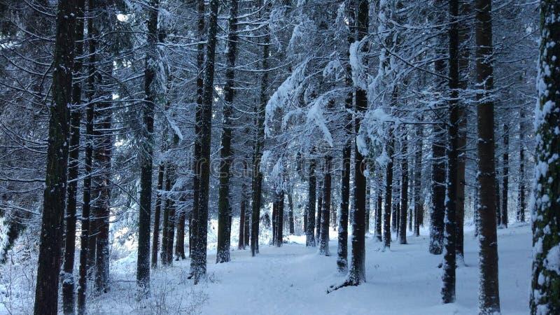 Pino denso Forrest durante invierno foto de archivo libre de regalías