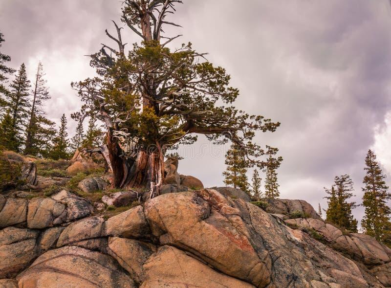 Pino di California del Nord Bristlecone fotografie stock