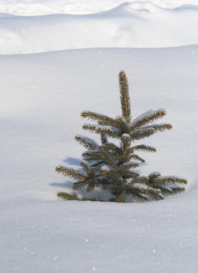 Pino di inverno immagini stock