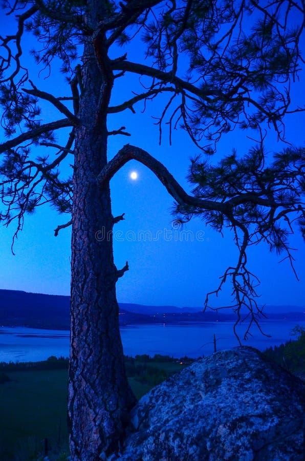 Pino di Ponderosa sopra il parco provinciale di Fintry immagini stock libere da diritti