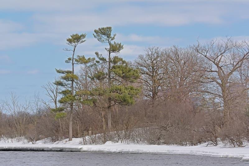 Pino ed alberi nudi lungo il fiume di Ottawa nella neve immagine stock libera da diritti