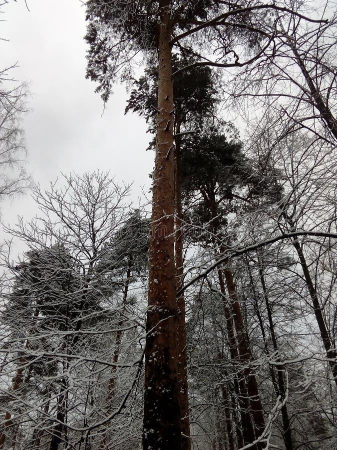 Pino en el invierno fotografía de archivo
