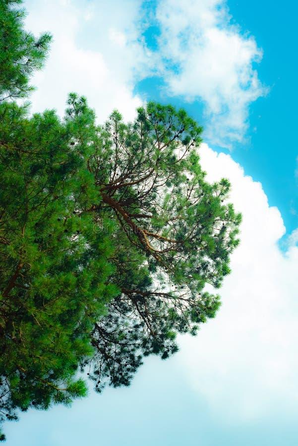 Pino en fondo del cielo, pino majestuoso imagen de archivo