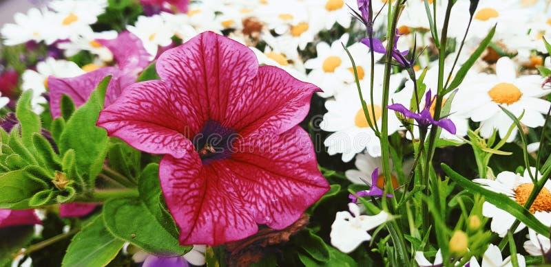 Pino Flower royalty-vrije stock afbeeldingen