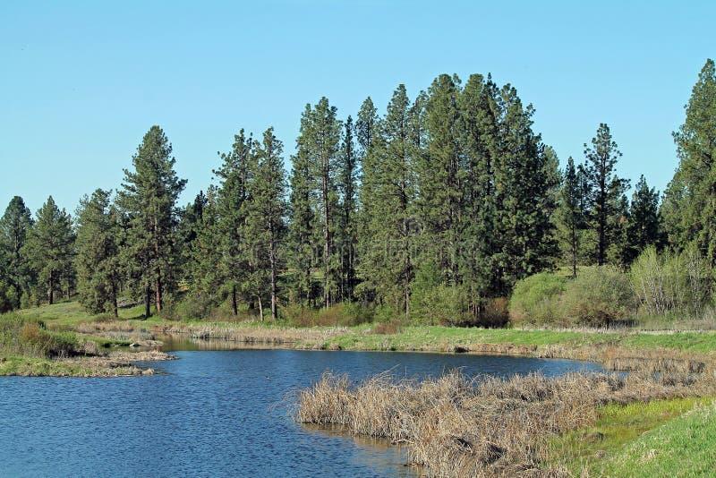 Pino Forest Bordering uno stagno della zona umida fotografia stock libera da diritti