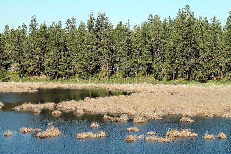 Pino Forest Bordering uno stagno della zona umida immagini stock libere da diritti