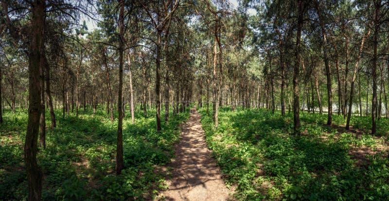 Pino Forest Path Mirgorod ricorso Panorama immagine stock