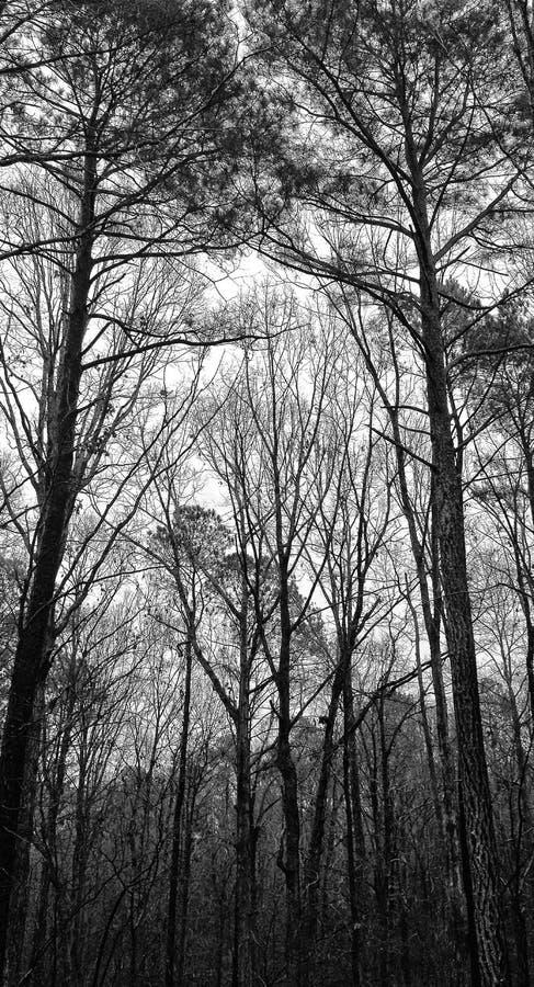 Pino Forest Sentinels North Carolina fotografia stock libera da diritti