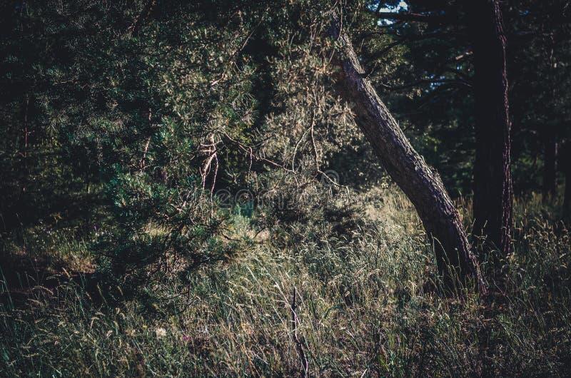 Pino inclinado de la nave del tronco en el primero plano Bosque del verano antes de una tempestad de truenos Fondo verde oscuro s imagenes de archivo
