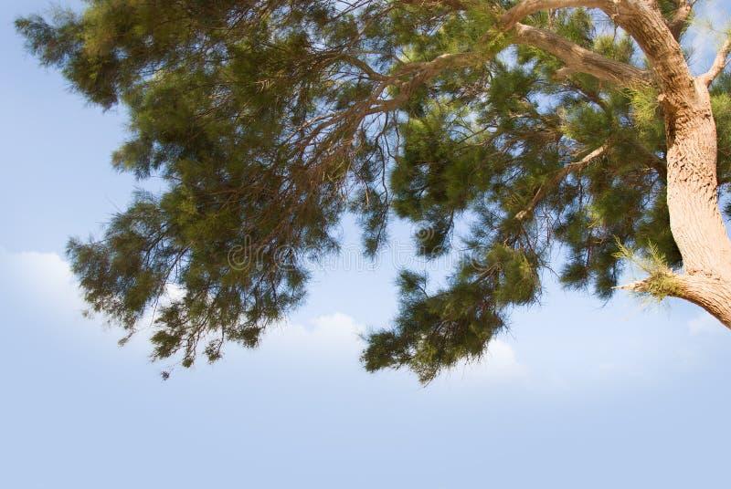 Pino marítimo en el cielo azul imagenes de archivo