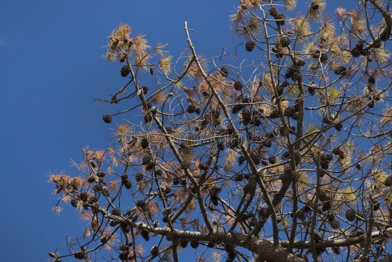 pino marítimo (pinaster del pinus) fotografía de archivo