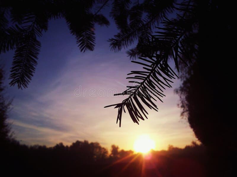 Pino negro y la salida del sol foto de archivo