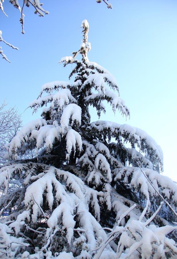 Pino nevado foto de archivo libre de regalías