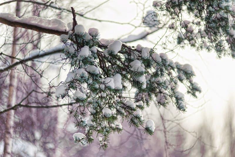 Pino nevado Brenches imagen de archivo libre de regalías
