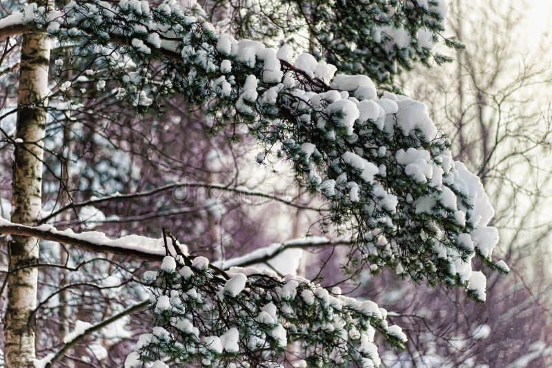 Pino nevado Brenches imágenes de archivo libres de regalías