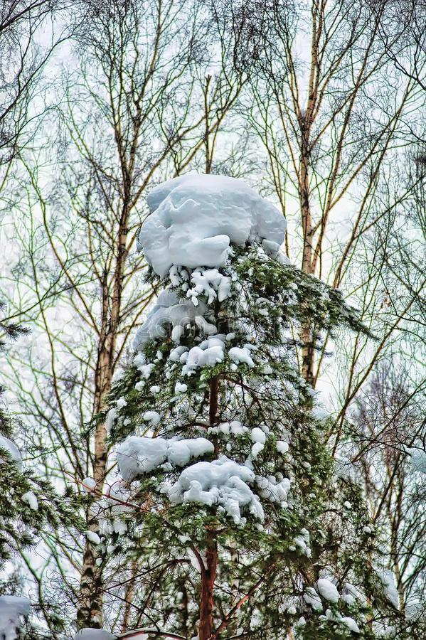 Pino nevado Brenches fotos de archivo