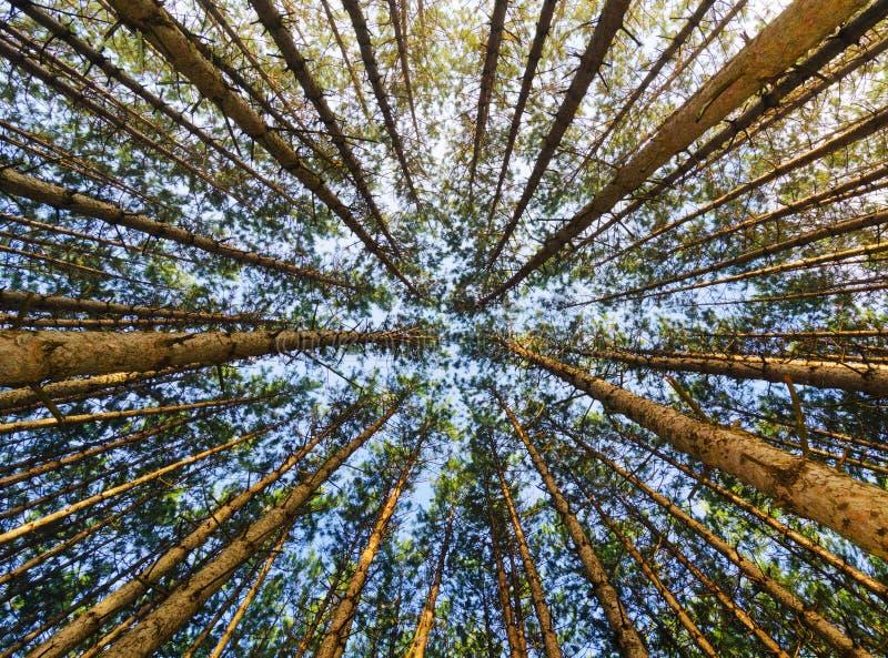 Pino rojo Forest Looking Up foto de archivo
