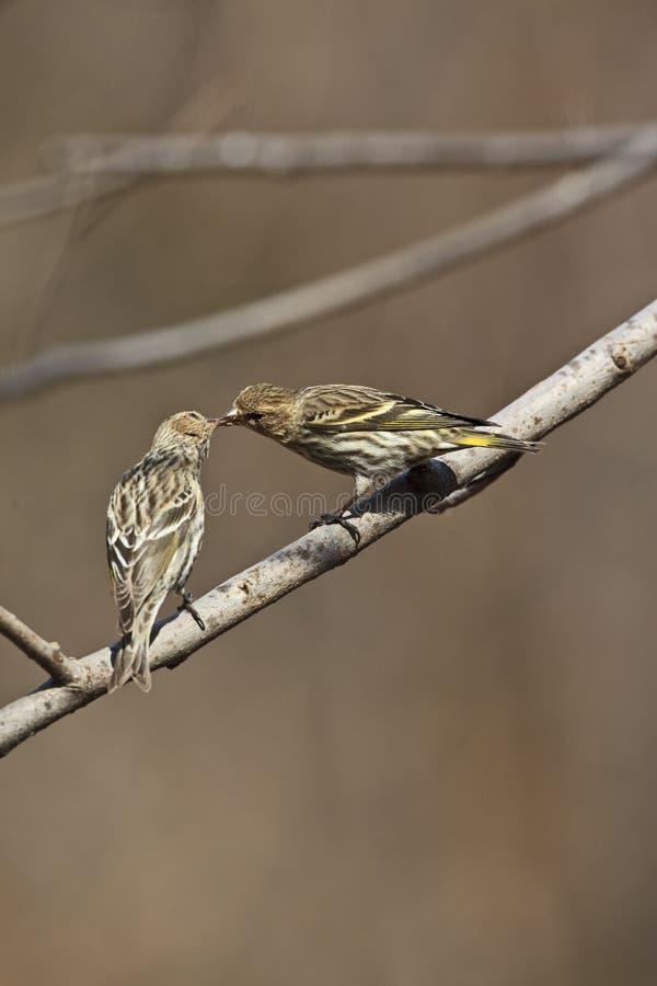Pino Siskin (pinus del Carduelis) fotografia stock libera da diritti