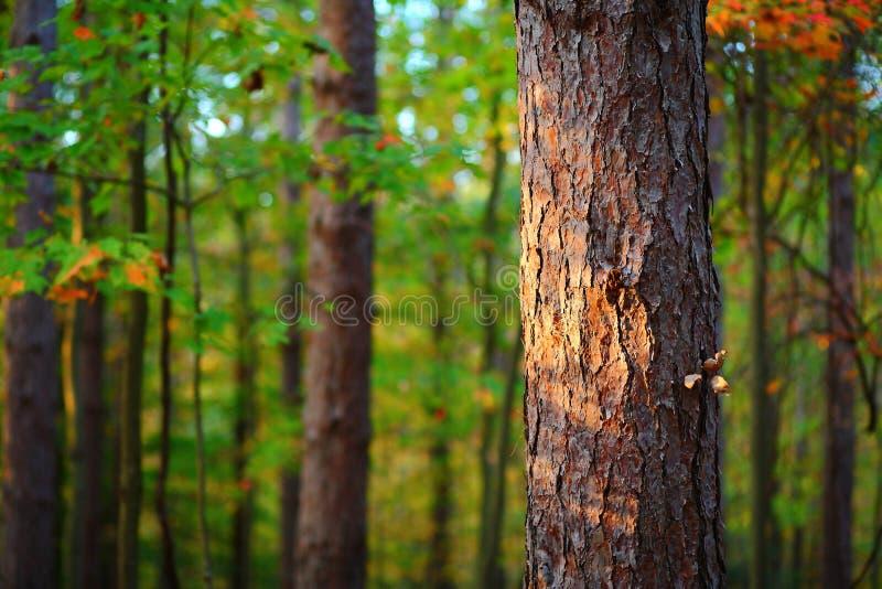 Pino solitario en bosque fotografía de archivo libre de regalías