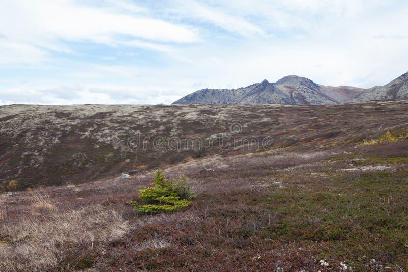 Pino solo in montagne d'Alasca fotografie stock libere da diritti