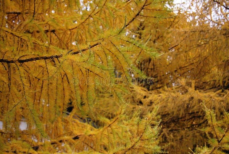 Pino strobo nella foresta di autunno fotografia stock libera da diritti