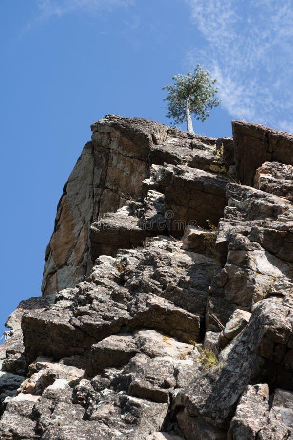 Pino sulla roccia 1 fotografia stock libera da diritti