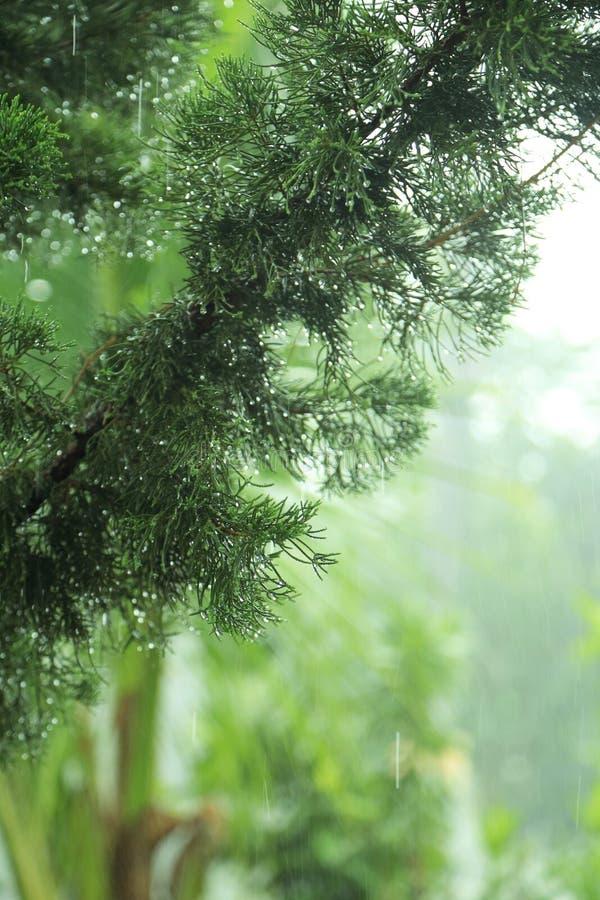 Pino verde nella pioggia con le gocce di acqua sul ramoscello, sfondi naturali astratti fotografia stock libera da diritti