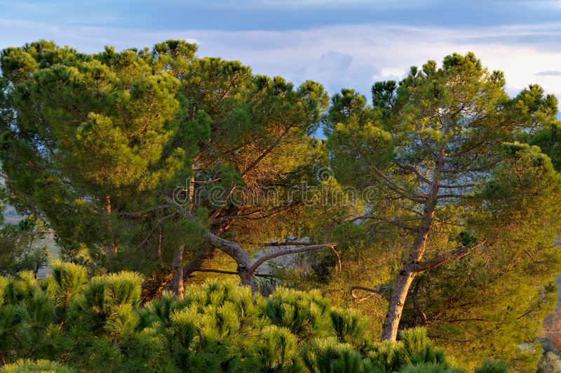 Pinos 2 de Toscana imagen de archivo