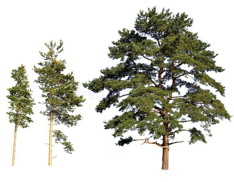 Pinos aislados árbol fotos de archivo libres de regalías
