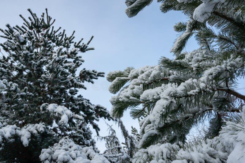 Pinos austríacos y japoneses hermosos cubiertos con la nieve mullida blanca Foco selectivo fotos de archivo