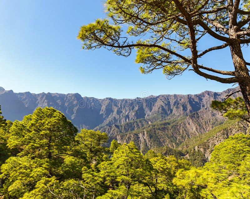 Pinos canarios en Caldera de Taburiente en el La Palma imágenes de archivo libres de regalías