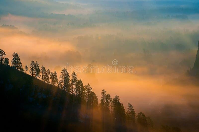 Pinos cubiertos en nieblas en los rayos del amanecer imagen de archivo libre de regalías