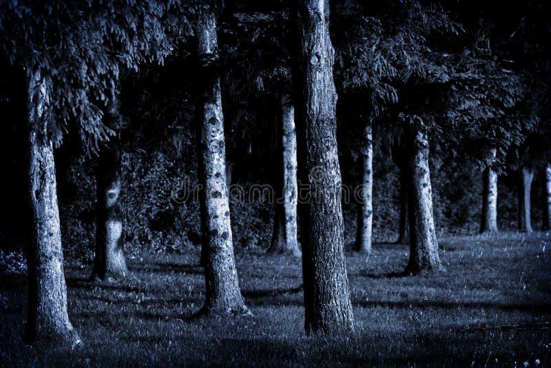 Pinos del claro de luna fotografía de archivo libre de regalías