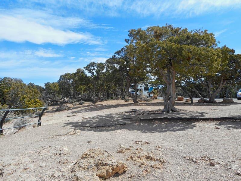pinos en el Gran Cañón foto de archivo