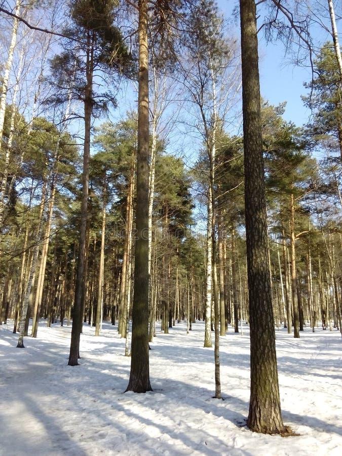 Pinos en el invierno imagen de archivo