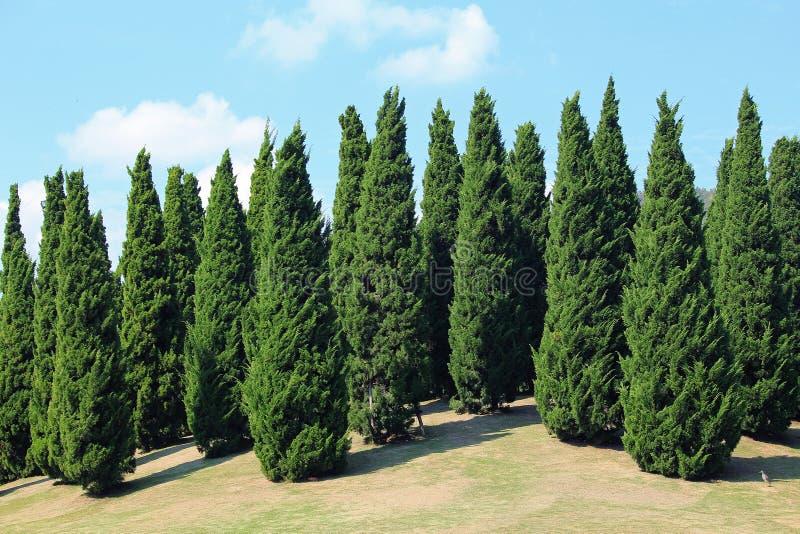 Pinos en jard n real de la flora imagen de archivo for Tipos de pinos para jardin fotos